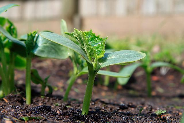 Закаливание рассады, предназначенной для выращивания в открытом грунте, заключается в снижении температуры воздуха за 7—10 дней до высадки до +15:..16°С