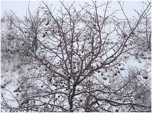 Снятие оставшихся плодов и ягод