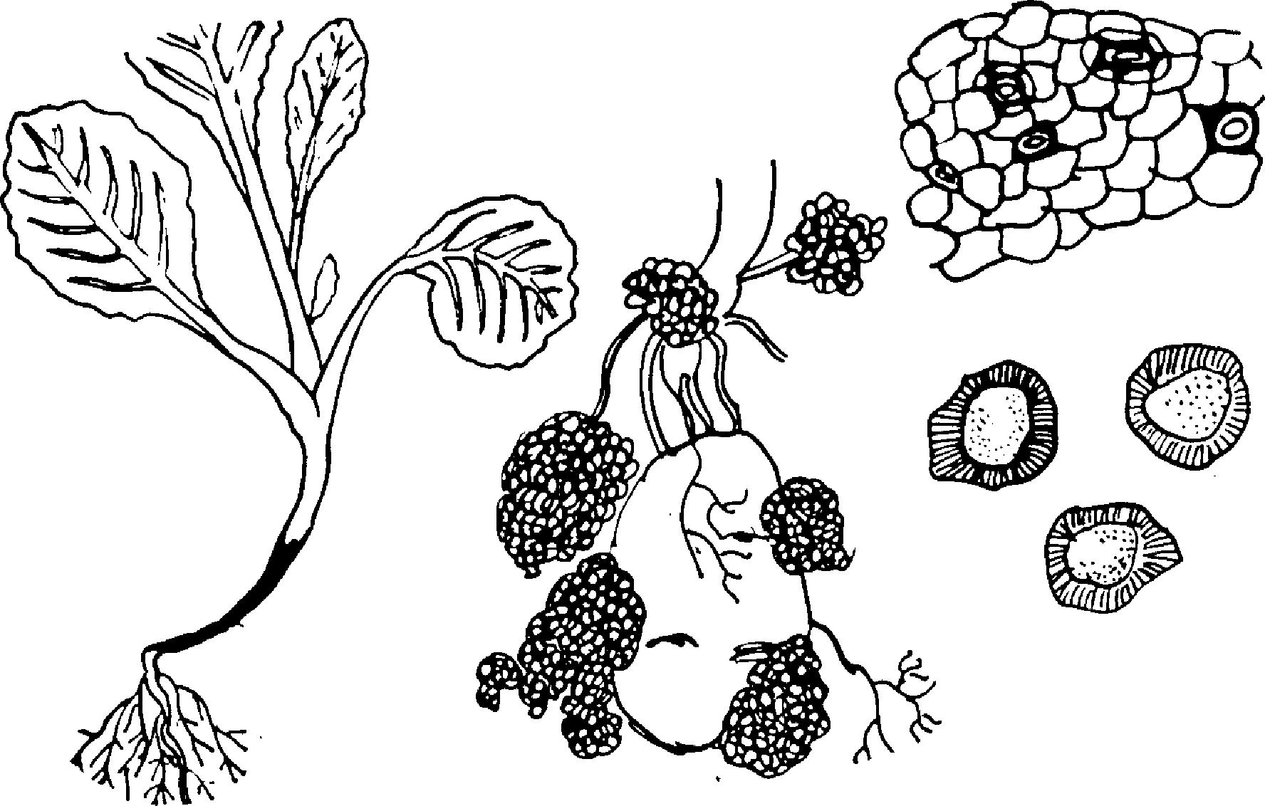 Черная ножка рассады капусты