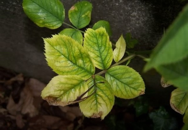 Дефицит калия у растений