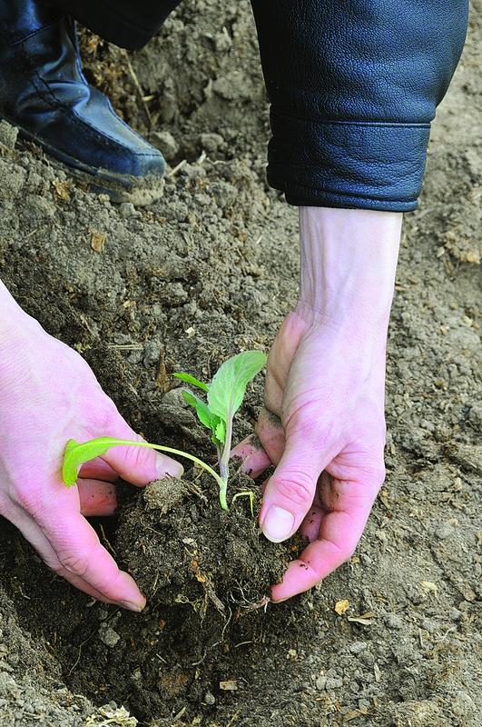 Для посадки в грунт выбирают самые крупные и здоровые растения