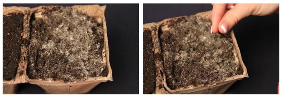 В отличие от всех перечисленных выше цветов, сальвию сеют в питательный почвогрунт, в состав которого входит известь