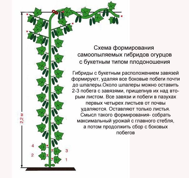 Формирование огурцов с букетным типом плодоношения