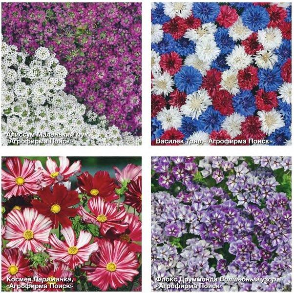 Холодостойкие однолетние цветы