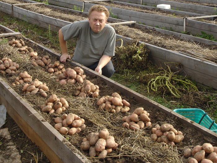 Хороший урожай картофеля с теплой грядки