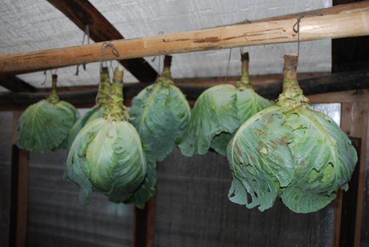 Хранение капусты в подвешенном виде