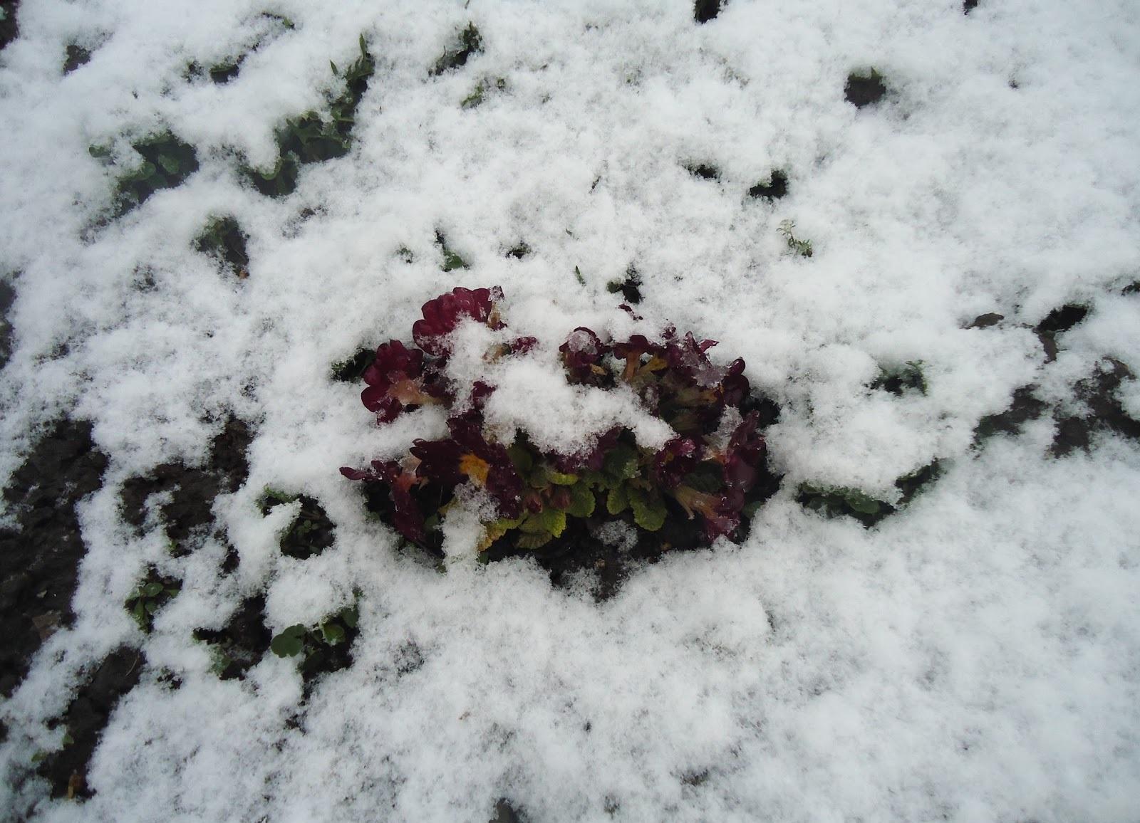 Клубнику укрывают снегом
