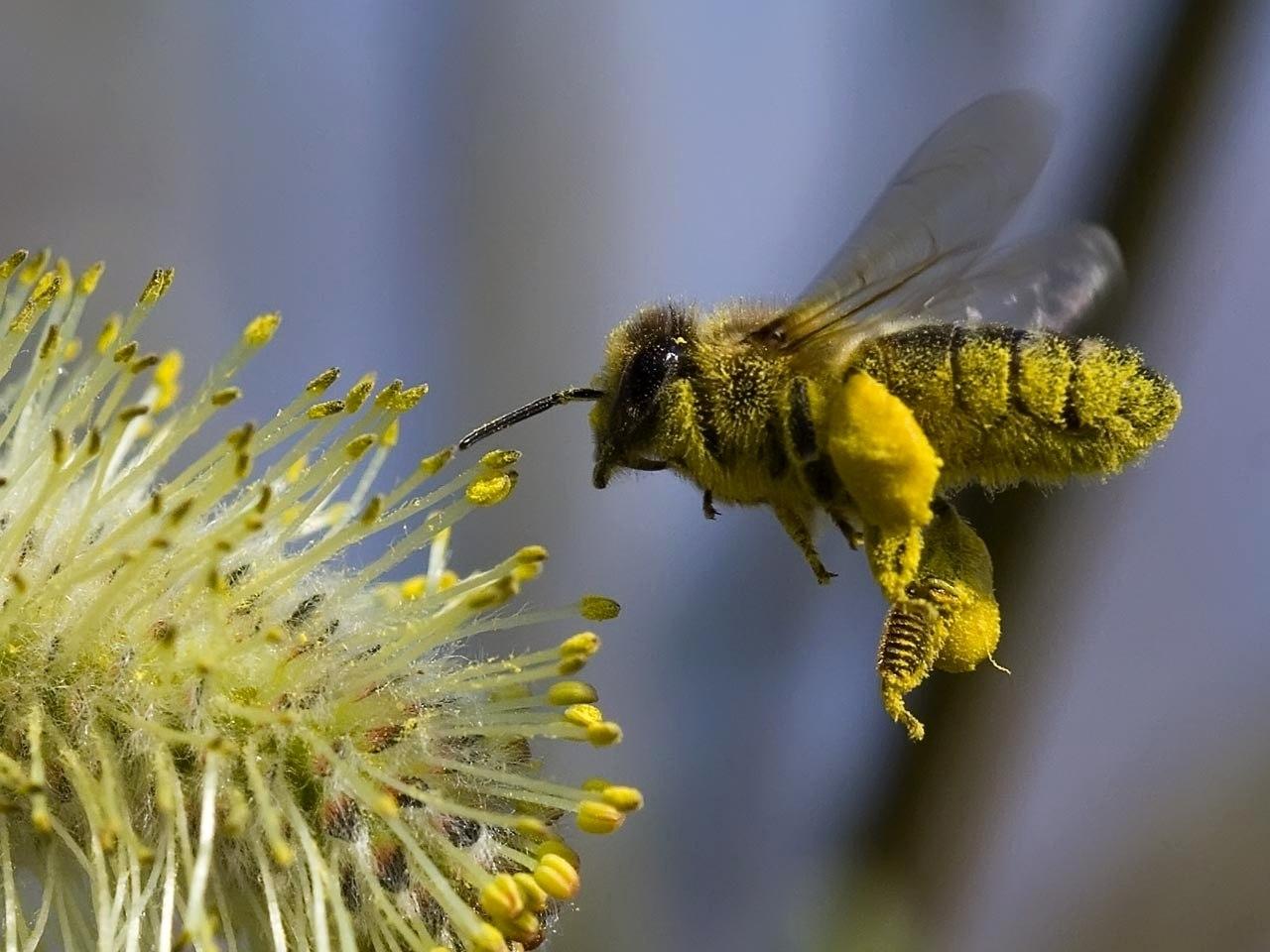 Медоносные пчелы — основные опылители