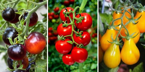 Мелкие помидоры черри