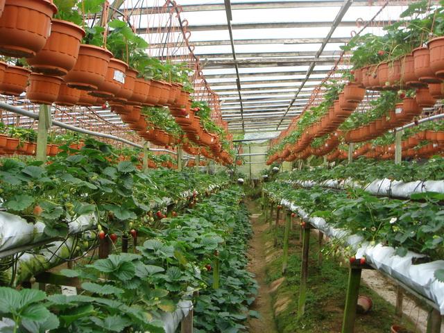 Многоярусное выращивание клубники в теплице