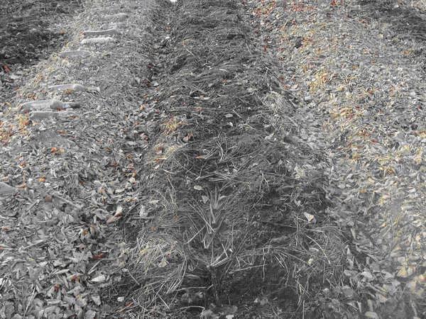 Мульчирование огородных грядок с озимым чесноком