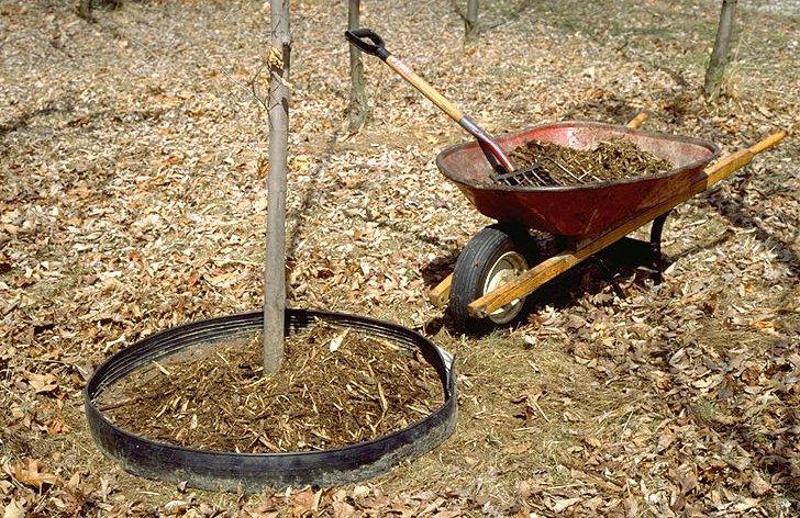 Мульчирование приствольного круга деревьев