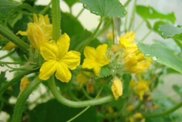 Недостаточное опыление характеризуется образованием на огуречных плетях так называемых пустоцветов
