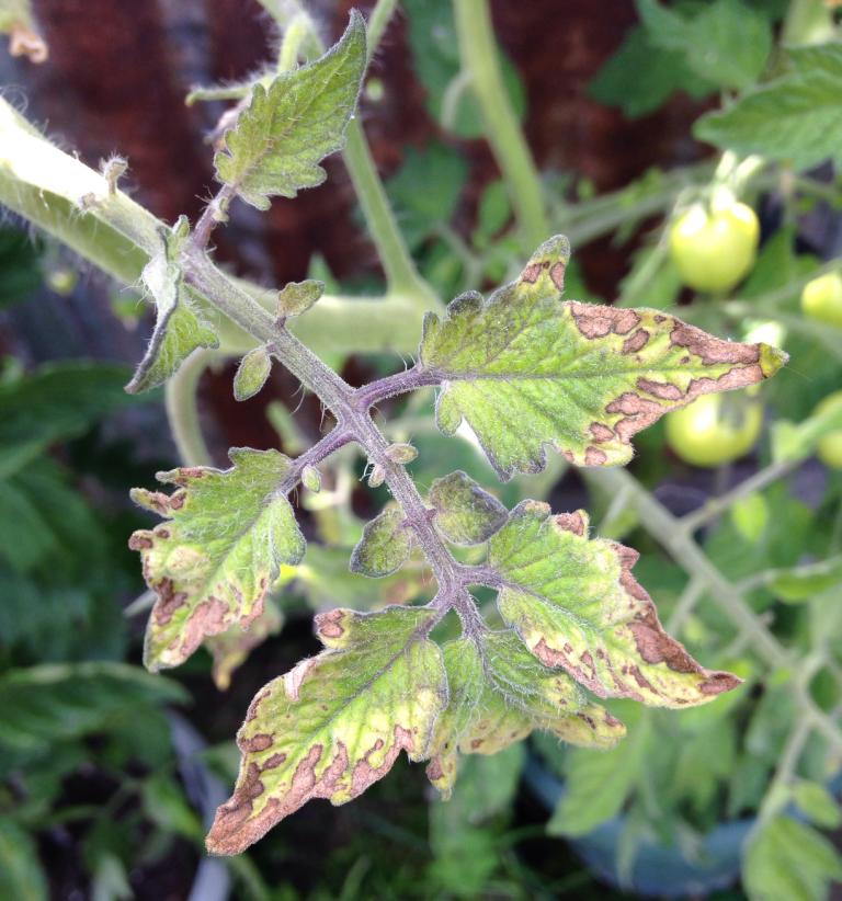 Недостаток калия у томатов