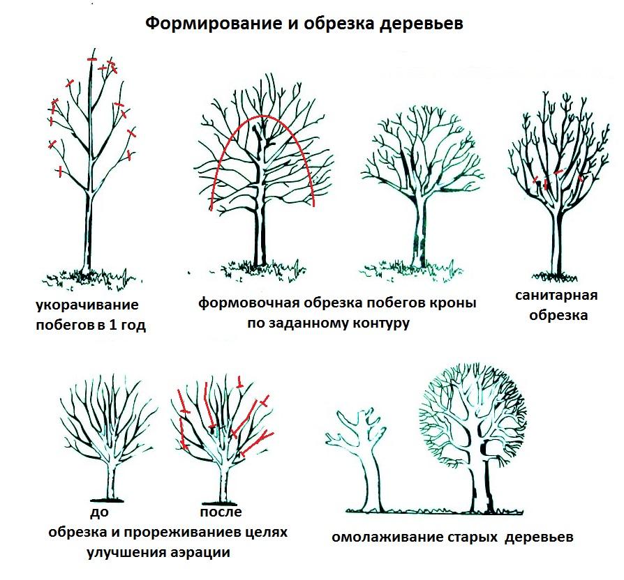 Обрезка деревьев весной схема