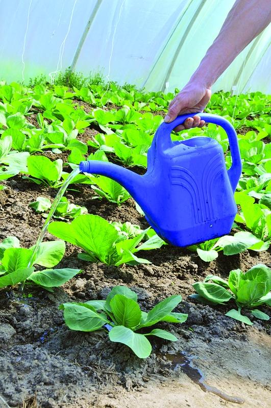 Обычно средне- и позднеспелую капусту удобряют раз в месяц