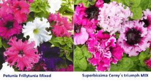 Очаровательны и другие сорта петуний крупноцветковых