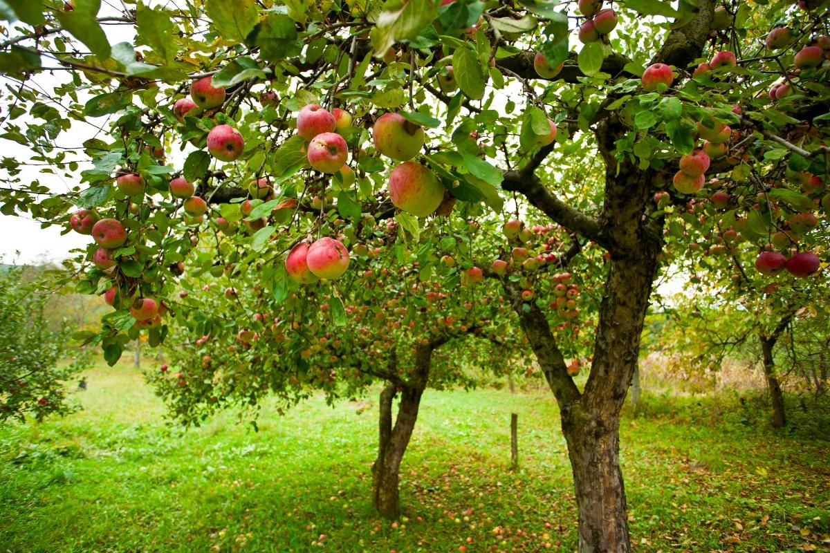 Опавшие плоды нужно вовремя убирать