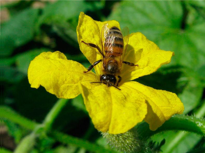 Пчелоопыляемые огурцы