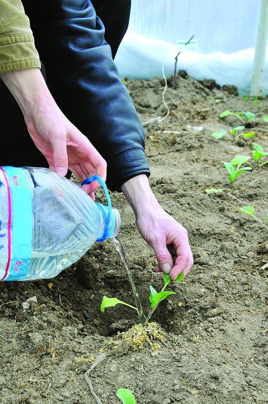 Первый раз растения удобряют во время высадки рассады. Просто полейте саженец в лунке