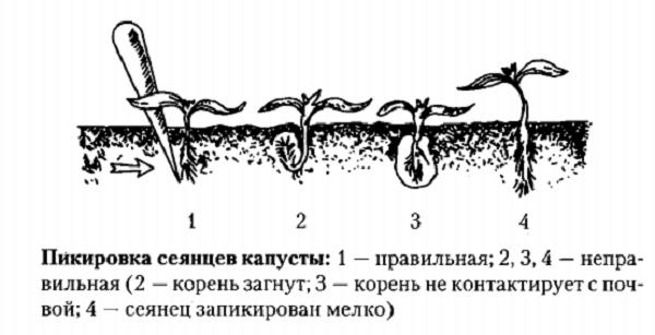 Пикировка сеянцев капусты