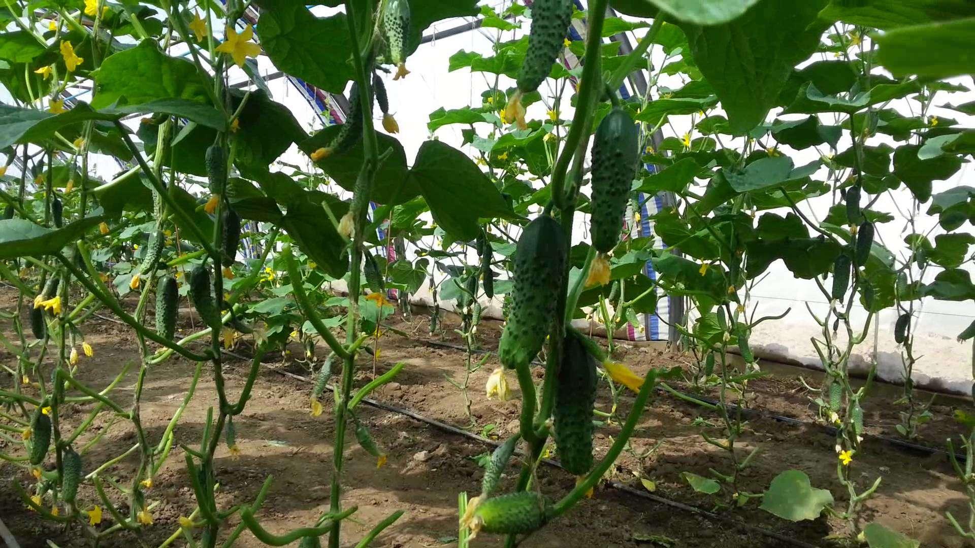 Плоды огурца на кустах