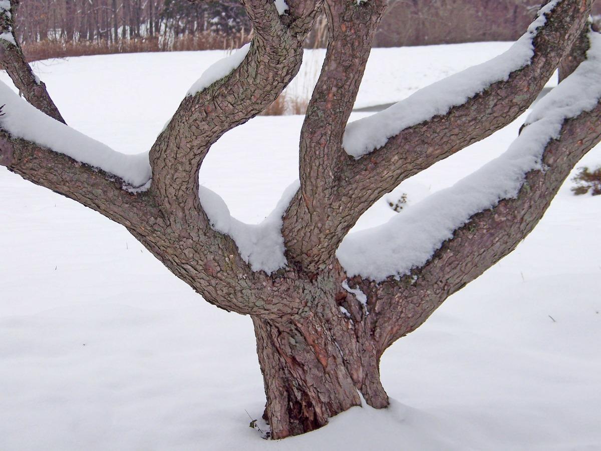 Подгребают снег к стволам деревьев и уплотняют его