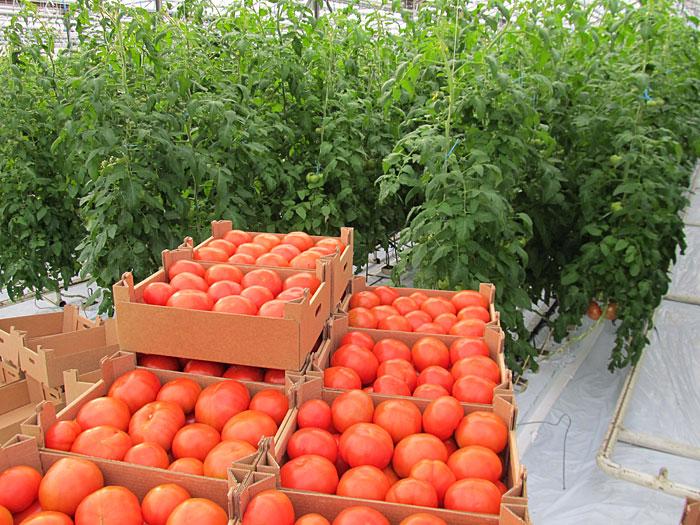 Получить хороший урожай томатов в теплице возможно