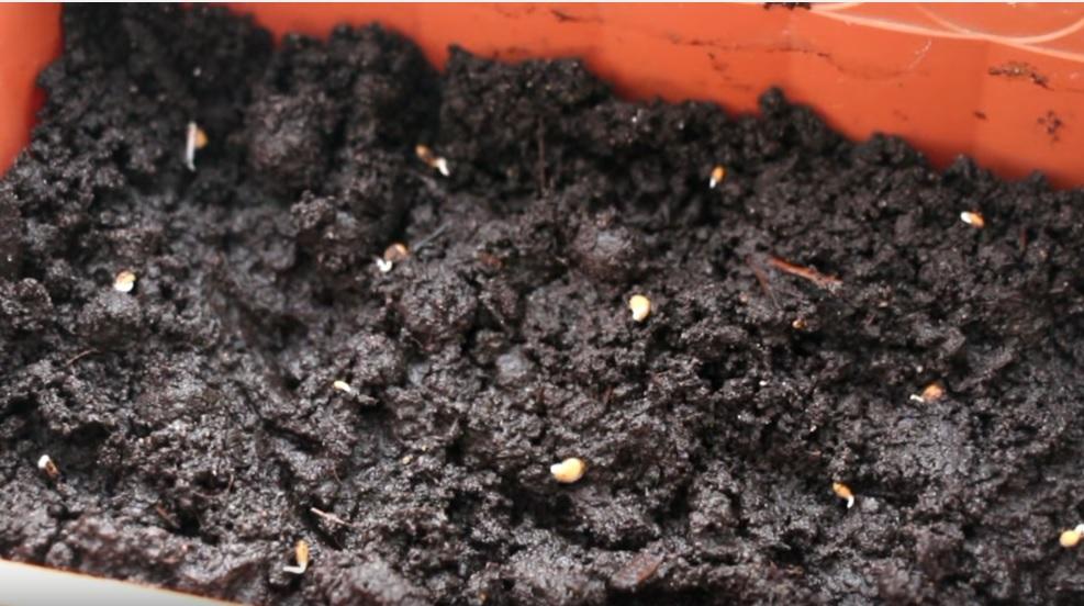 Посев пророщенных семян томатов