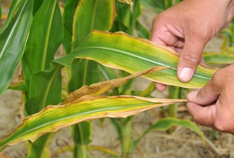 Признаки минерального голодания кукурузы