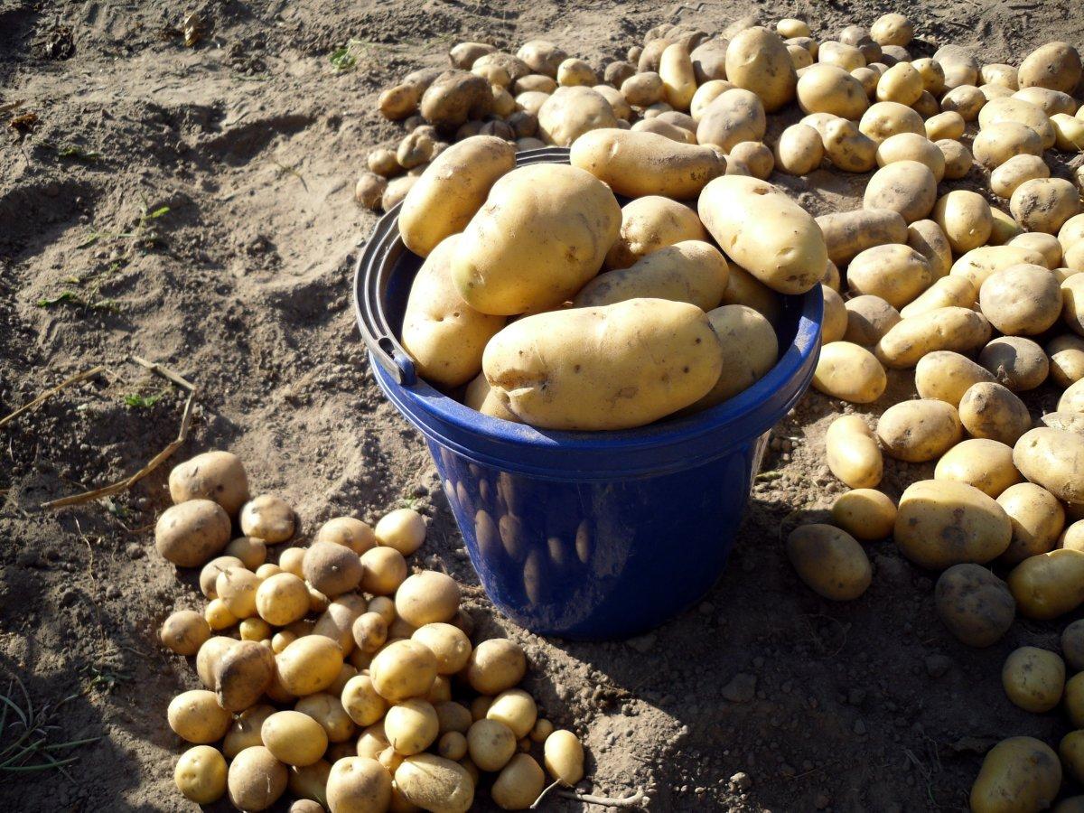 С середины месяца можно приступать к сбору урожая картофеля