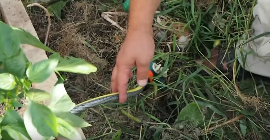 Шланг укладывается между рядами растений
