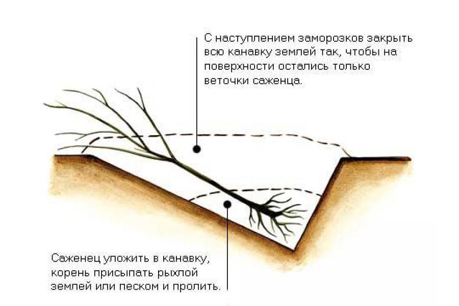 Саженцы присыпают землей и поливают