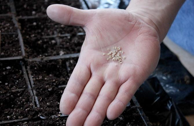 Семена нужно подготовить