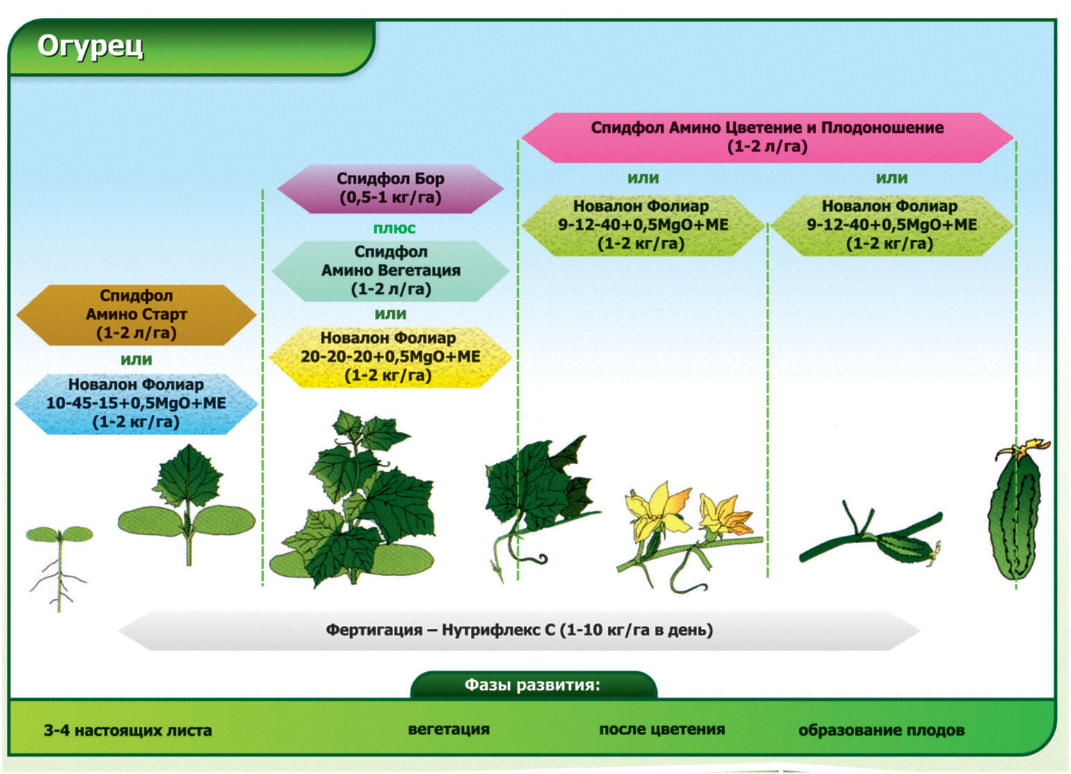 Схема фаз развития огурца