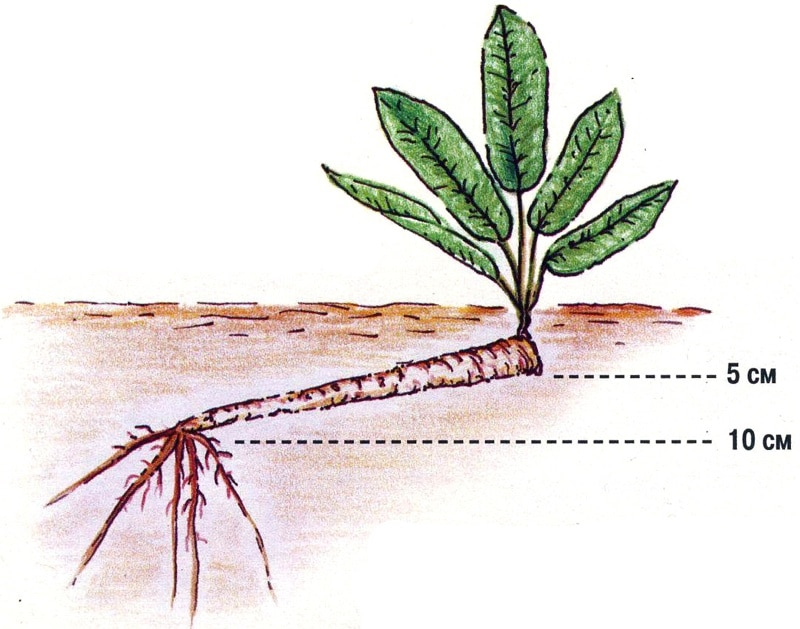 Схема осенней посадки корней хрена