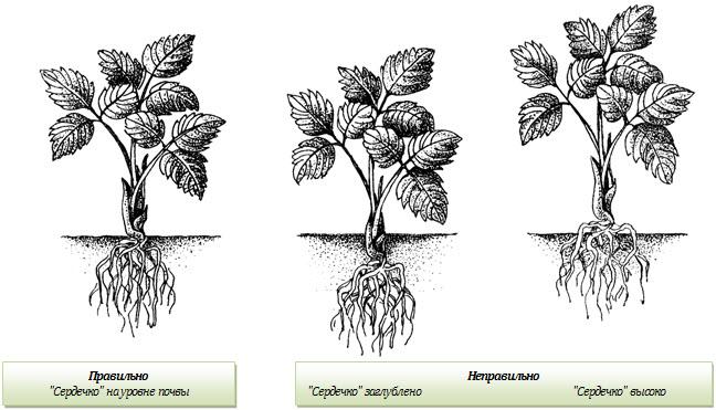Схема правильной посадки клубники
