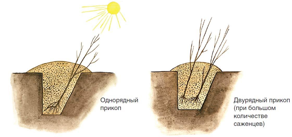Схема расположения траншеи для саженцев