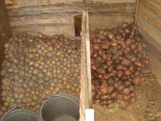 Сортировка и обработка клубней картофеля