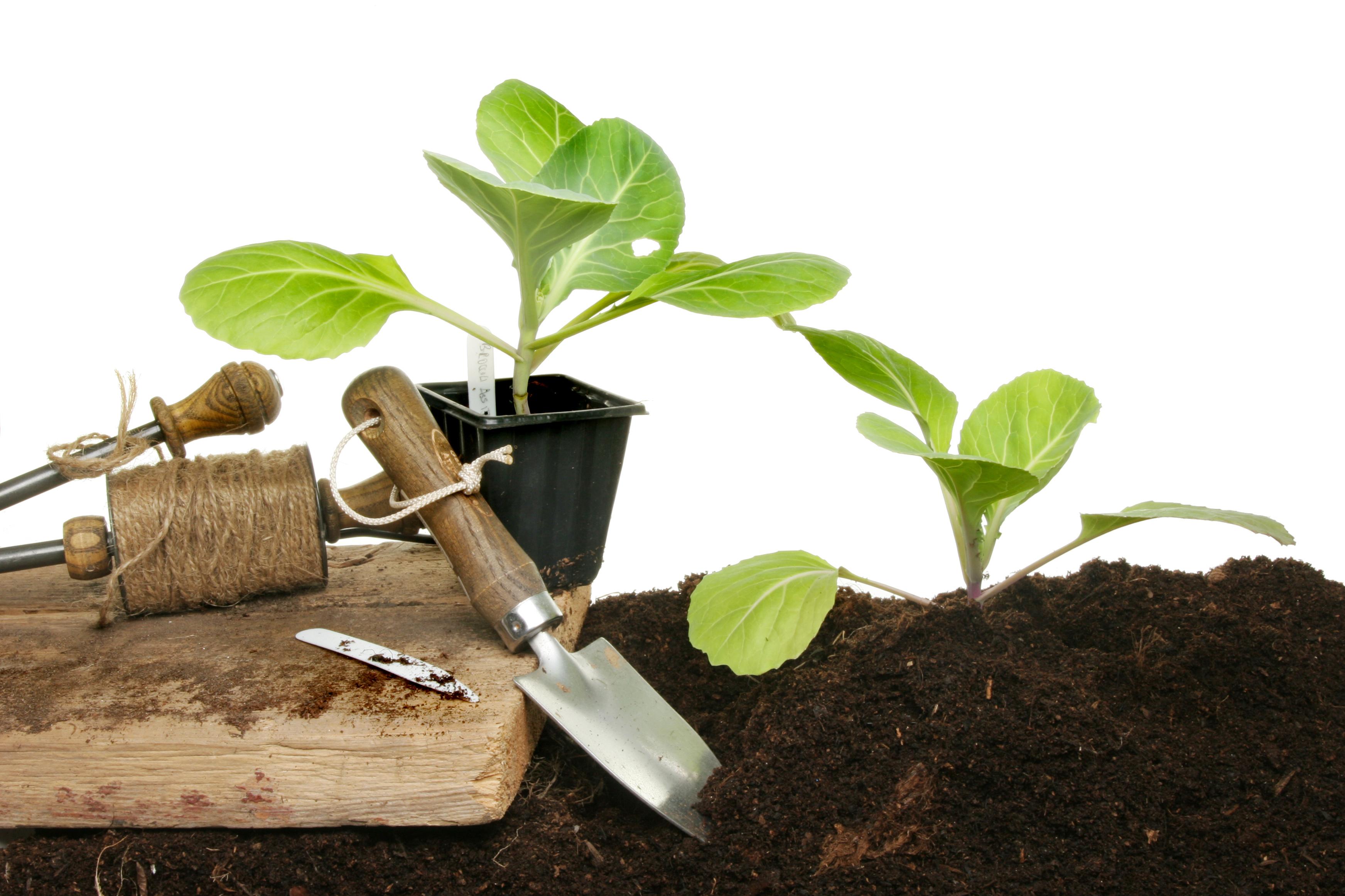 Теперь вы знаете, как вырастить здоровую рассаду капусты своими руками
