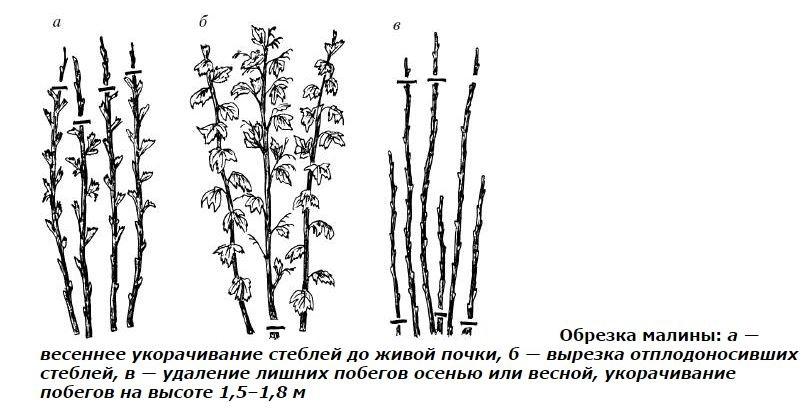 Три метода обрезки малины