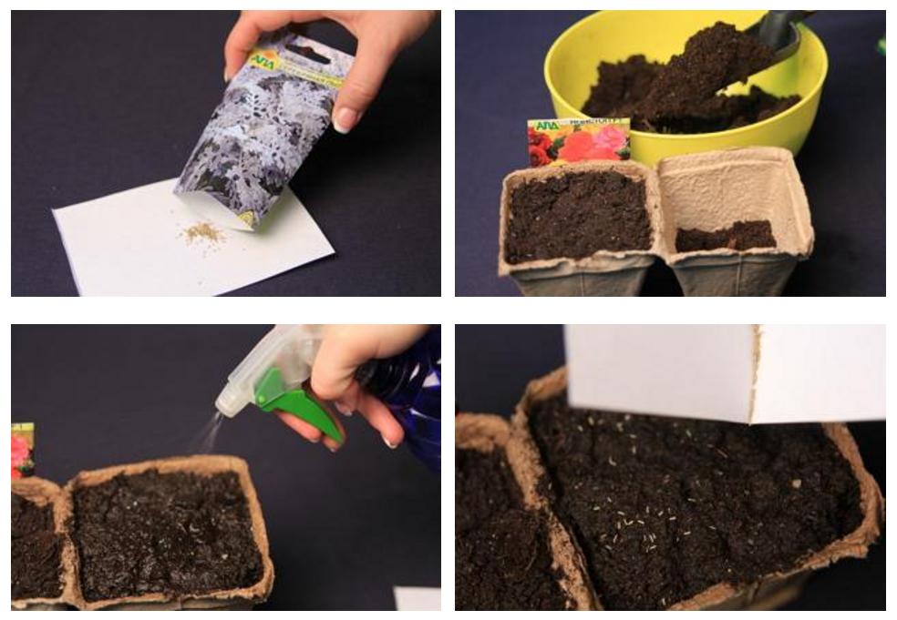 У бегонии, гелиотропа, бальзамина и цинерарии семена очень мелкие, поэтому высевают их поверхностно, лишь немного присыпав песком или компостом, слоем не более 2 мм
