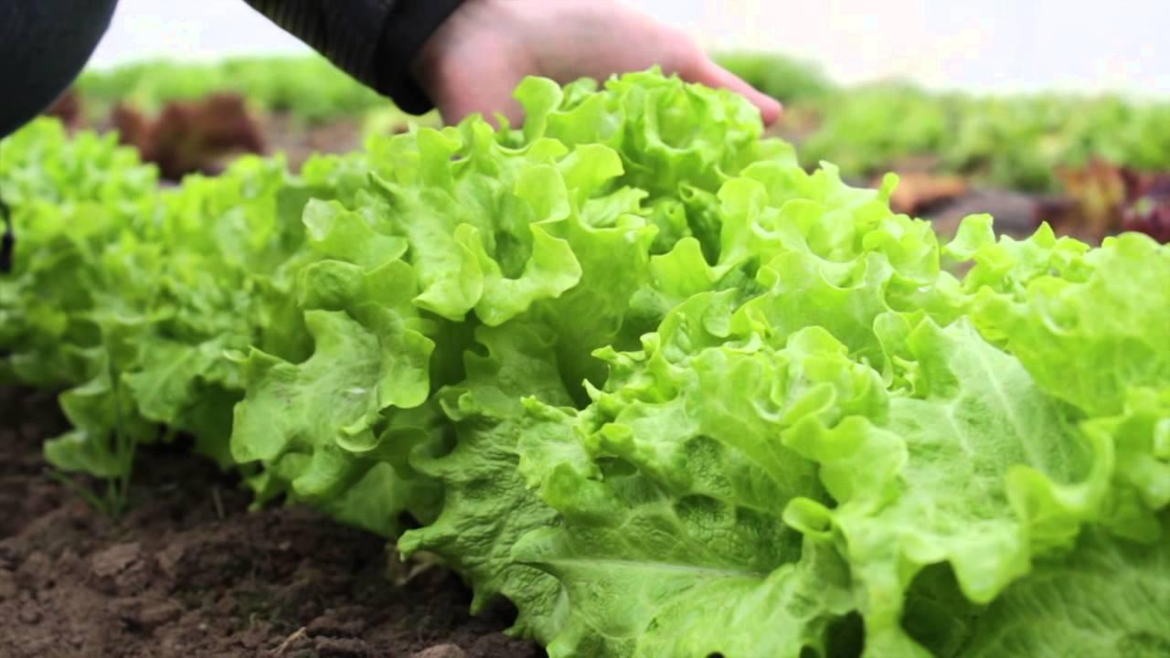 У выращивания зелени на продажу много преимуществ