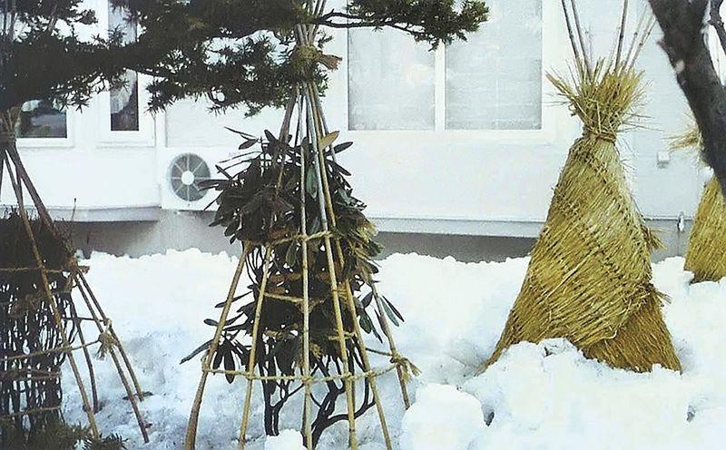 Вечнозеленые кустарники на зиму связывают и укрывают