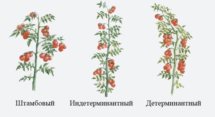 Виды сортов томата