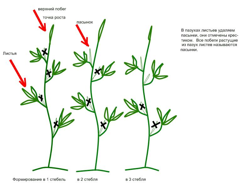 Возможные варианты формирования томатных кустов