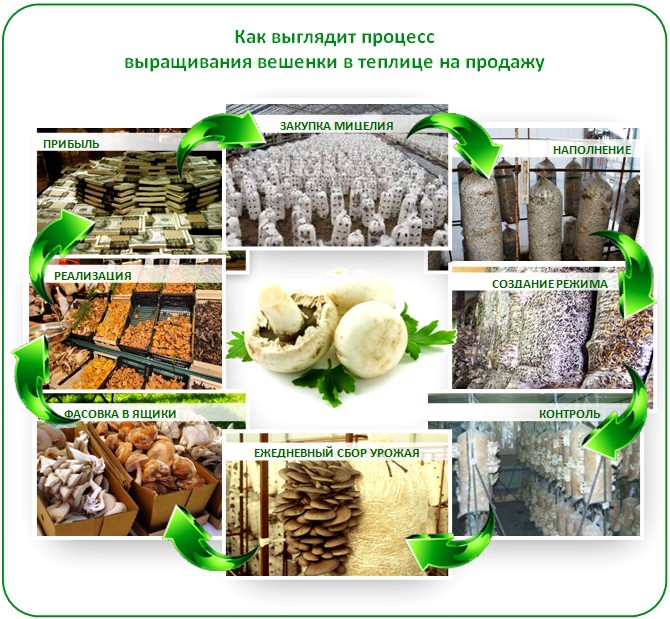 Выращивание грибов в теплице на продажу