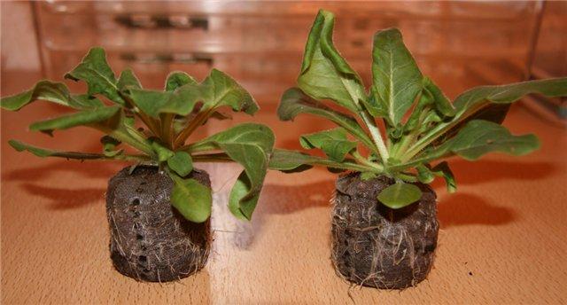 Выращивание рассады петунии в торфяных таблетках