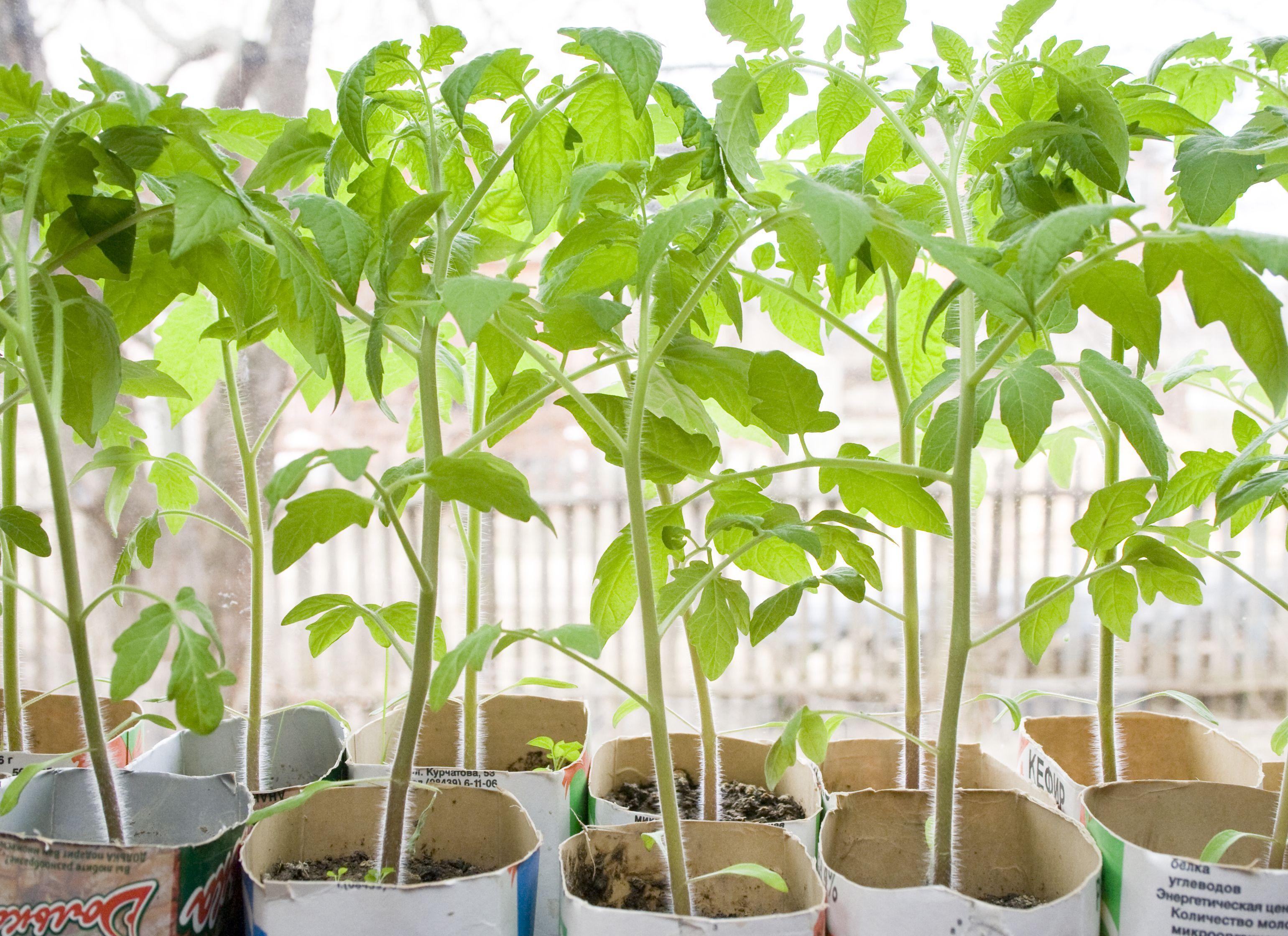 Выращивание рассады томатов - дело хлопотное