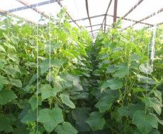 Выращивание в теплице из поликарбоната огурцов
